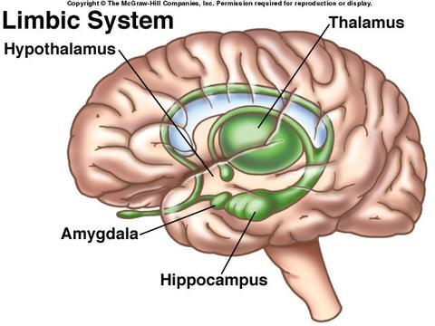 limbicky-system